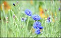 Cornflower Loveliness (111169863).jpeg