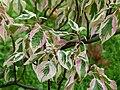 Cornus alternifolia bb1.jpg