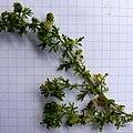 Coronopus didymum stem (03).jpg