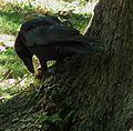 Corvus corone mit einer Walnuss 05.JPG