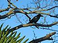 Corvus macrorhynchos Kamakura 1.jpg