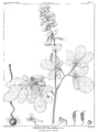 Corydalis marschalliana-Delessert.png