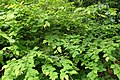 Corylopsis pauciflora kz2.jpg