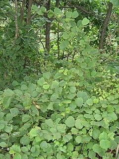 <i>Corylus heterophylla</i> Species of tree