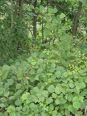 Corylus heterophylla - Image: Corylus heterophylla