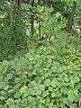 Corylus heterophylla.JPG