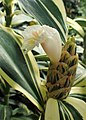 Costus arabicus 'Variegatus' kz02.jpg