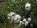 Cottongrass.jpg