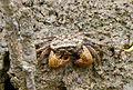 Crabs in Thailand 2013 0637.jpg