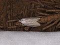 Crambidae sp. (25081130977).jpg
