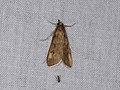 Crambidae sp. (39920373882).jpg