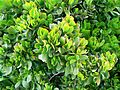 Crassula ovata - Jade Plant - South Africa 6.JPG