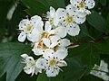Crataegus monogyna FlowersCloseup 2009April26 SierraMadrona.jpg