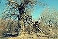 Creepy tree (6869014338).jpg
