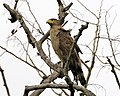 Crested Serpent-Eagle (Spilornis cheela) - Flickr - Lip Kee (5).jpg