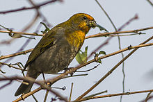 Crimson-browed Finch Adult Female Fambong Lho Wildlife Sanctury 30.03.2014.jpg