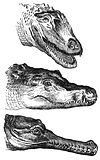 Crocodylidae-drawing.jpg
