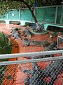 Crocodylus niloticus (2).JPG