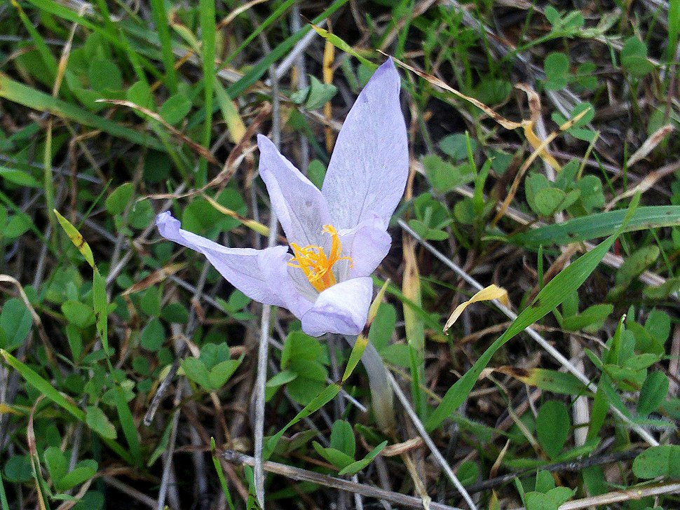 Crocus nevadensis subsp marcetii FlowerCloseup DehesaBoyaldePuertollano