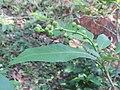 Croton persimilis at Peravoor 2018 (4).jpg