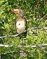 Crowned Hornbill (Lophoceros alboterminatus) male ... (32778194438).jpg