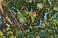 Cuclillo Canela, Squirrel Cuckoo, Piaya cayana (9540982319).jpg