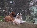 Curico, perros callejeros (9153334357).jpg