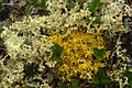 Curled Snow and Goldtwist Lichens (3816003093).jpg