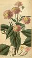 Curtis's Botanical Magazine, Plate 3110 (Volume 58, 1831).png