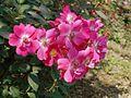 Cute Pink Roses.jpg