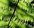 Cyathea manniana02.jpg