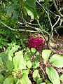 Cyclamen hederifolium dark pink - Flickr - peganum (4).jpg
