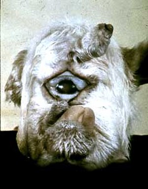 Alkaloid - Head of a lamb born by a sheep that ate leaves of the corn lily plant. The cyclopia in the calf is induced by the alkaloid cyclopamine present in the plant.