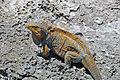 Cyclura rileyi rileyi (San Salvador rock iguana) (Green Cay, offshore from northwestern San Salvador Island, Bahamas) 4 (16038817661).jpg