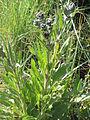 Cynoglossum officinale01.jpg