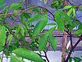 Cynometra cauliflora (DITSL).JPG