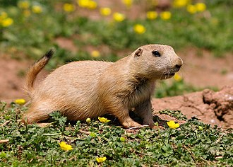 Black-tailed prairie dog - At Paignton Zoo, Devon, England