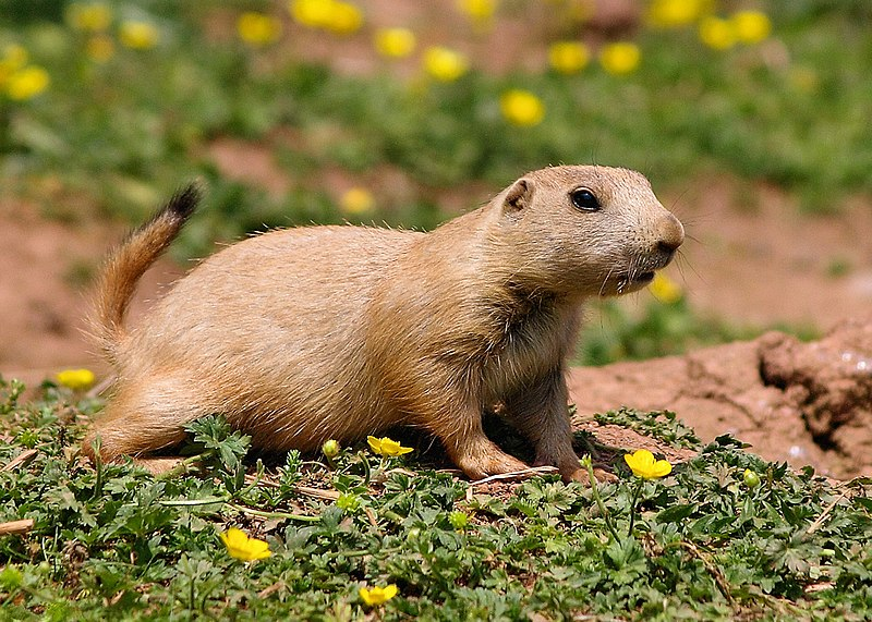 Groundhogs vs Gophers Whats the Difference