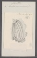 Cynthia microcosmus - - Print - Iconographia Zoologica - Special Collections University of Amsterdam - UBAINV0274 092 01 0043.tif