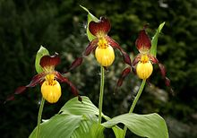 Cypripedium parviflorum Orchi 016.jpg