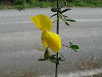 Cytisus arboreus baeticus 2