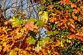 Dülmen, Börnste, Herbstlaub -- 2020 -- 3562.jpg