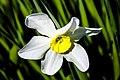 Daffodil flower.jpg