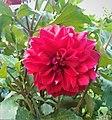 Dahlia Flowers (2).jpg