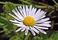 Daisy (49234484218).jpg