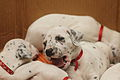 Dalmatian puppy, three weeks-5.JPG