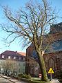 Darłowo-Oak Martin Luter.JPG