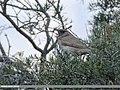 Dark-throated Thrush (Turdus ruficollis) (46575823111).jpg
