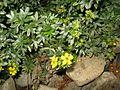 Dasiphora fruticosa, Japan 2.JPG
