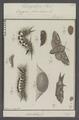 Dasychira - Print - Iconographia Zoologica - Special Collections University of Amsterdam - UBAINV0274 056 03 0013.tif